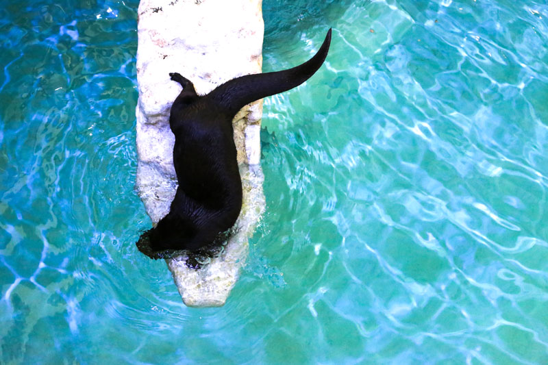 Walle the otter at the Clearwater Marine Aquarium